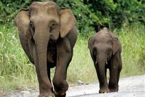 Μαζική σφαγή ελεφάντων στο Καμερούν