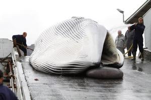 Αρχισε το κυνήγι της φάλαινας...