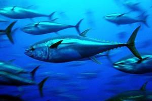 Βιώσιμη διαχείριση της αλιείας τόνου για το 2013 επιθυμεί η ΕΕ