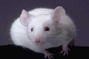 Όταν ένα ανθρώπινο γονίδιο εμφυτεύεται σε ποντίκια