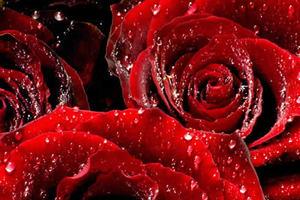 Η Τουρκία εξάγει τριαντάφυλλα για του Αγ. Βαλεντίνου