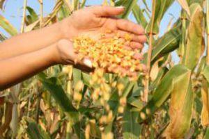 Μείωση στην παραγωγή των γενετικά τροποποιημένων ειδών