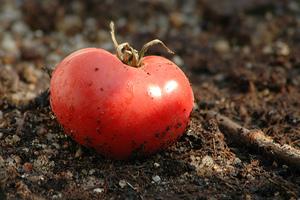 Oι Ευρωπαίοι προτιμούν την ελληνική... ντομάτα