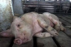 Νεκρά γουρούνια κοντά στον Πηνειό