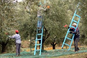 Η Ελλάδα δεν έχει ζητήσει χρηματοδότηση για αποζημίωση ελαιοπαραγωγών
