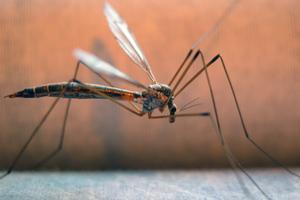 Πώς εντοπίζουν τα θύματά τους τα κουνούπια