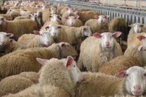 Καταρροϊκός πυρετός και σε πρόβατα της Φλώρινας