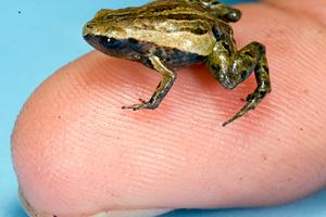 Ο πιο μικρός βάτραχος του κόσμου