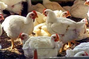 Συνθήκες Μεσαίωνα σε πτηνοτροφείο στην Αχαΐα
