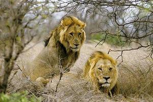 Η λαθροθηρία απειλεί τα λιοντάρια της Αφρικής
