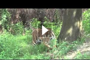 Συνέδριο για την σωτηρία των τίγρεων