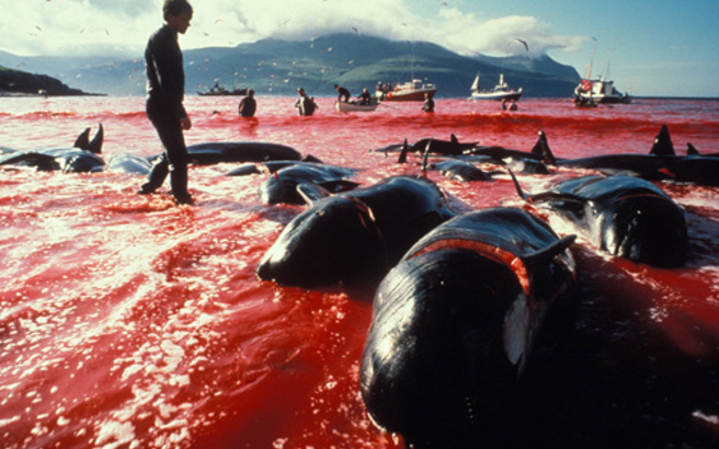 Ιαπωνία: Συνεχίζει το κυνήγι φαλαινών παρά την απαγόρευση του Διεθνούς Ποινικού Δικαστηρίου της Χάγης