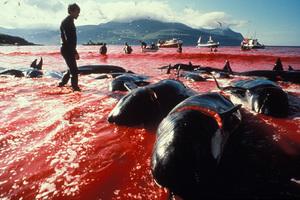 Συνεχίζει τη φαλαινοθηρία η Ιαπωνία