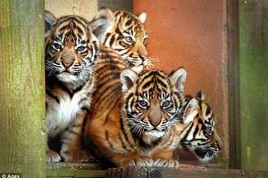 Υιοθέτησε μια τίγρη, μπορείς!
