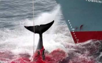 «Όχι» στη σφαγή των φαλαινών