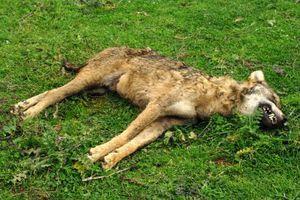 Σκότωσαν λύκαινα με σφαίρα στην Κοζάνη