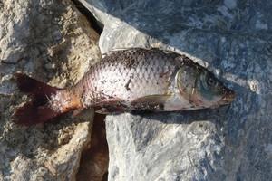 Πληθαίνουν τα νεκρά ψάρια στο Ιόνιο