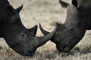Νεκροί λαθροθήρες ρινόκερων σε συμπλοκή με φύλακες