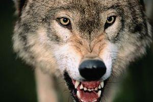 Σκότωσε λύκο με κουζινομάχαιρο