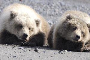 Αχώριστα αρκουδάκια παίζουν στο πάρκο της Αλάσκα