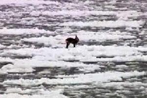 Ελάφι «βούτηξε» στην παγωμένη θάλασσα