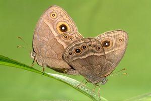 Μεταλλαγμένες πεταλούδες στη Φουκουσίμα