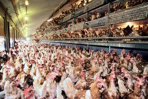 Κοτόπουλα που δεν μεταδίδουν γρίπη