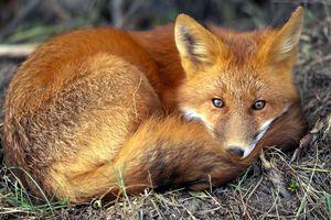 Ξεκίνησε ο εμβολιασμός των κόκκινων αλεπούδων