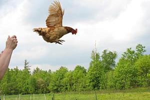 Αστυνομική έρευνα στο Πόρτλαντ για μία… κότα!