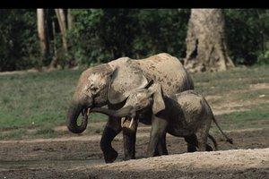 Ελέφαντες δολοφονούνται για... τα γεννητικά τους όργανα