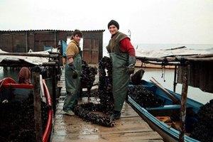 Στα... σκουπίδια 20.000 τόνοι μυδιών