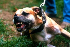Δολοφονικές επιθέσεις σε σκυλάκια από πιτ μπουλ