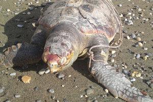 Τα σκουπίδια και τα αλιευτικά εργαλεία σκοτώνουν τις χελώνες