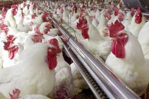 Θύματα του αυστριακού καύσωνα... 5.000 κότες