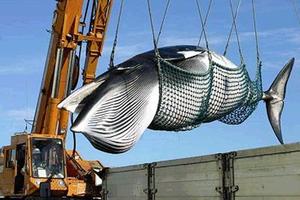 Το Τόκιο σταματά τη φαλαινοθηρία
