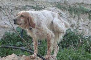 Απάνθρωποι έκοψαν το πόδι κυνηγόσκυλου