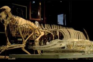 Επιστρέφει στη Μογγολία κλεμμένος δεινόσαυρος