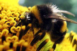 Οι ρύποι αποπροσανατολίζουν τις μέλισσες