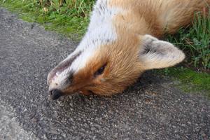 Εντοπίστηκε κρούσμα λύσσας σε κόκκινη αλεπού