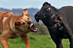 Αγέλη σκύλων κατασπάραξε ηλικιωμένη στην Ξάνθη