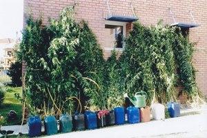 Δεκαπέντε χασισόδεντρα σε γλάστρες