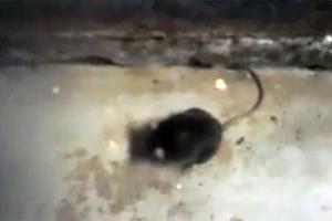 Νεκρά ποντίκια στην Οδοντιατρική σχολή της Θεσσαλονίκης