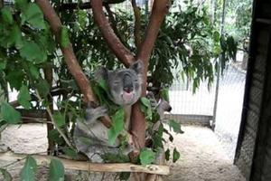 Γιατί τα κοάλα «κολλάνε» στα δέντρα