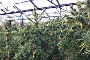 Εντοπίστηκε φυτεία με 178 χασισόδεντρα