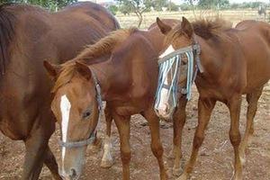 Έκλεψαν 9 άλογα από περιοχή της Κοζάνης