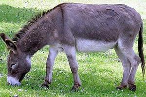Νεκρό το γαϊδουράκι που βασάνισαν στη Ναυπακτία