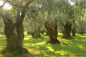 Ο δάκος για ακόμη μια φορά «θερίζει» στην ανατολική Φθιώτιδα