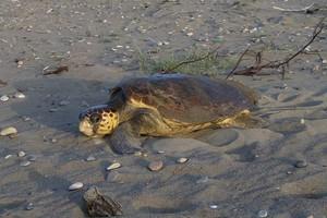 Σοκάρει περιστατικό κακοποίησης χελώνας καρέτα καρέτα