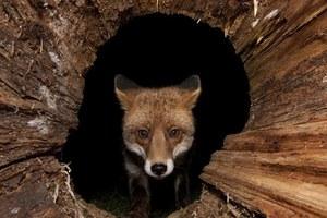 Αναρρώνει ο μικρούλης που δέχθηκε επίθεση από αλεπού