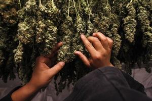 Οι αλβανικές αρχές κατέσχεσαν 700 κιλά μαριχουάνα